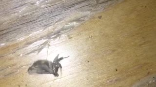 Moth trying to fly spins around in circles like breakdancing - Video