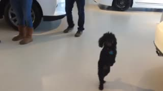 Dog prefers walking on two legs - Video