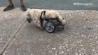 Brown dog walking with pet wheelchair