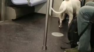 White dog man in blue jacket  - Video