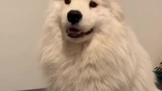 Cute Samoyed tries diffrent outfits to look cool