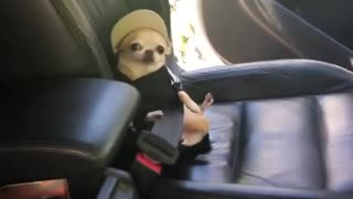 Buckled-up chihuahua in funny outfit ready for car ride