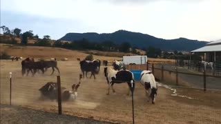Rescued horses playing in water to stay cool on a hot day - Video