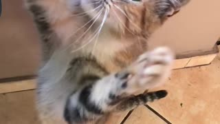Gray cat trying to catch food in slow motion  - Video