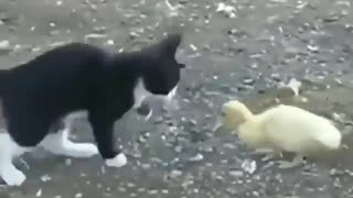 cute cat play with a small duck - Video