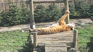 Tiger basking in the sun. Kaliningrad zoo.
