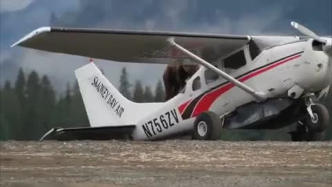 Large Grizzly Bear Climbs onto Airplane