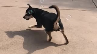 Black dog chasing and eating bubbles in slomo