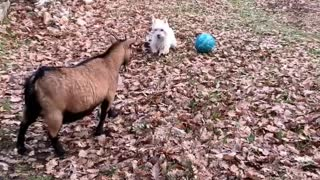 Westie tries to teach goats how to play soccer