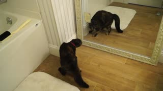 Cat shocked by reflection after discovering mirror - Video