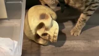 Savannah Cat Plays with Skull