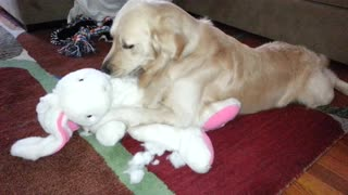 Bored Retriever Is On A Mission To Disembowel Stuffed Animal - Video