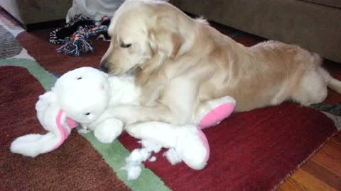 Bored Retriever Is On A Mission To Disembowel Stuffed Animal