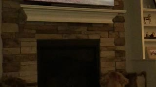 Golden retriever loves Game of Thrones