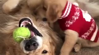 Padre e hijo Golden Retrievers pelean por pelota de tenis - Video