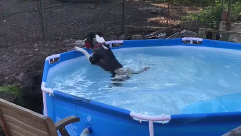 Dog tries to fetch ball in pool, ends up falling in