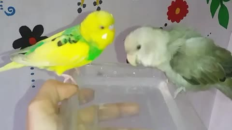 Talkative budgie bothering his little friend while taking a bath