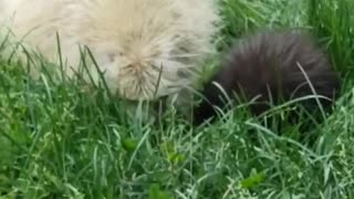 A Rare Albino Porcupine and its Baby Adventuring the Backyard