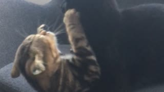 Brown and black cat fight on grey office chair - Video