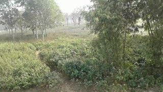 Wild bason in Indian forest  - Video