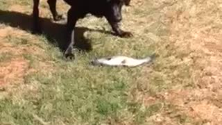 Patient Labrador Goes Fishing For Catfish In A Pond