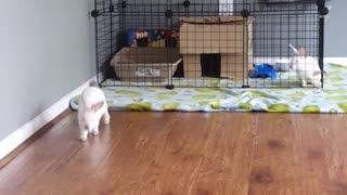 Bunny jumping over cage  - Video