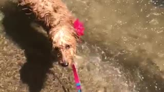 Brown dog shaking off water in slow motion