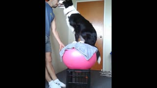 Dogs demonstrate impressive balancing skills - Video