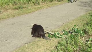 Courteous Beaver Has Wonderful Roadside Manners