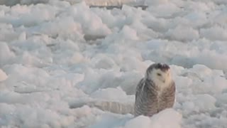 Snowy Owl Perched on Flowing Ice - Video