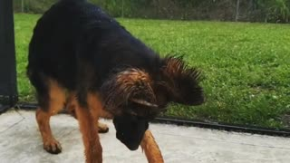German Shepherd Quenches Thirst in Slow Motion