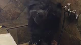 Slowmo black wet dog shakes off in shower - Video