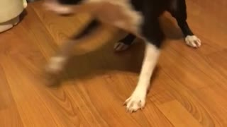 Small dog is obsessed with purple ball - Video