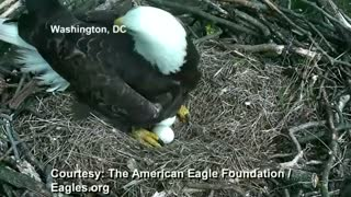 Bald eagle coddles unhatched eggs - Video