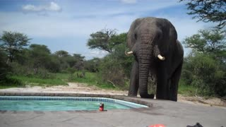 An elephant crashes the pool party.