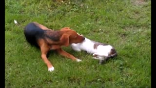 Friendly game between a cat and dog