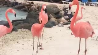 Flamingo register on Aruba beach  - Video