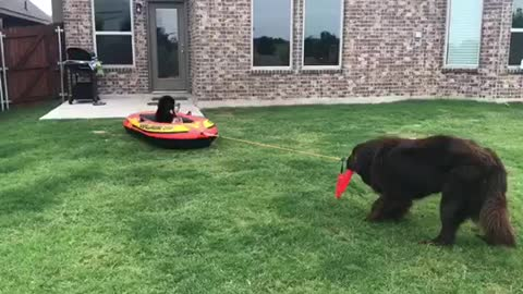 Newfoundland pulls other dogs in raft