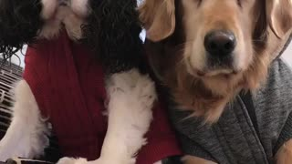 Two dogs in red and grey sweaters stare at camera while owner talks  - Video