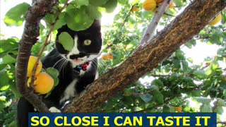 Black and White Kitten Has Developed a Taste for Fresh Apricots