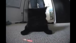 Cat goes crazy over laser beam - Video