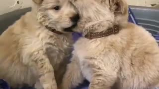 Cute Goldens Licking each other - Video