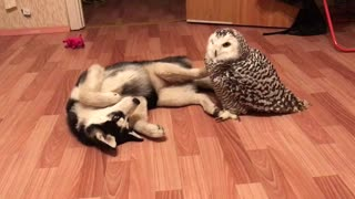 Husky Puppy Has Found A Best Bud In This Owl