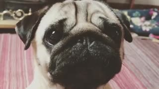 Pug puppy adorably tells off owner