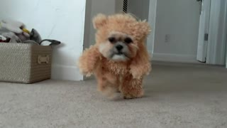 Munchkin the Shih Tzu wears teddy bear costume - Video