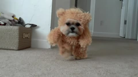 Munchkin the Shih Tzu wears teddy bear costume
