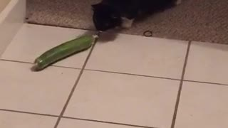 Cat scared of vegetable  - Video