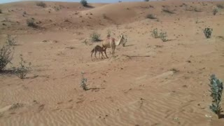 baby camel with big camels  - Video