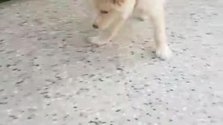 White dog red collar jumping around