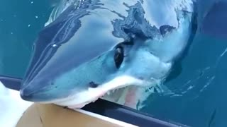 Shark leaves water to bite side of the boat
